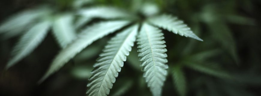 cannibis_home_grow-image