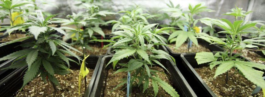 cannabis-1000x500